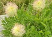 fleurs d'anémones printanières fanées