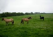 chevaux en baie de Somme