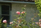 Roses sur mur gris