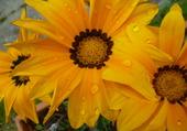 fleur jaune ouverte au soleil