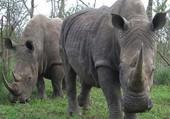 Puzzle rhinocéros