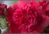 Une rose trémière.