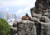 Bouc du Zoo de Sydney