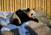 Puzzle Panda du Zoo de Toronto