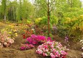 rhododendrons et  azalées,