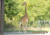 Belle girafe