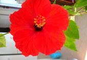 hibiscus de 25 ans