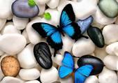 papillons bleux