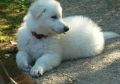 Harry chiot berger blanc suisse