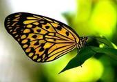 Puzzle papillon jaune