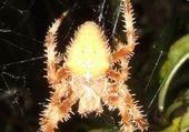 Une belle araignée