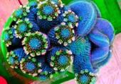 cactus bleu