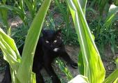 Réglisse caché dans le maïs