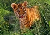 Puzzle bébé tigre