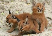 3 bébés lynx