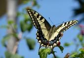 Papillon photographié en Crète