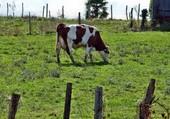 ma vache laitiére Rose
