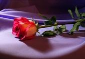 Une seule rose