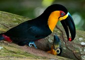 Puzzle toucan toco