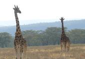 Girafes de Rothschild