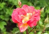 Rose cté Augustines Malestroit