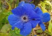 Fleur bleue Locquirec