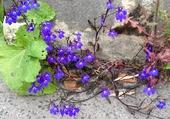 Fleurs de trottoir