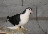 pigeon Lahore noir