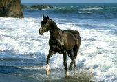 cheval sortant des flots