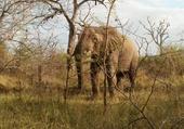 Eléphant au Swaziland