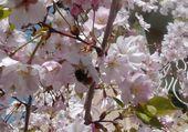 abeille dans un  pommier