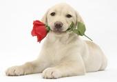 chiot labrador avec rose rouge