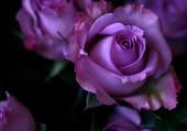 ROSES MAUVES