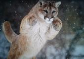 Puma en chasse .