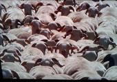 Puzzle Moutons de panurge .