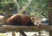 Puzzle Petit panda roux