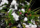 La neige sur des fleurs
