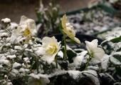 Ellébores sous la neige