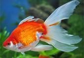 beau poisson