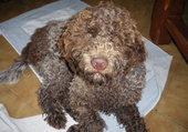 chien truffier