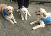 3 golden retriever