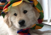 igloo chiot golden retriever
