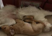 sommeil de 2 golden retriever
