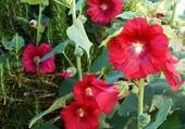 Puzzle rose tremiere