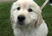 igloo bb golden retriever