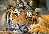 Puzzle Tigre et Chatons