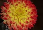 zoom sur une fleur de dalhia