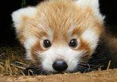 renard panda