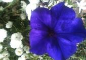 Puzzle Fleur bleue