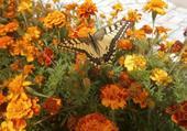 papillonsur les fleurs